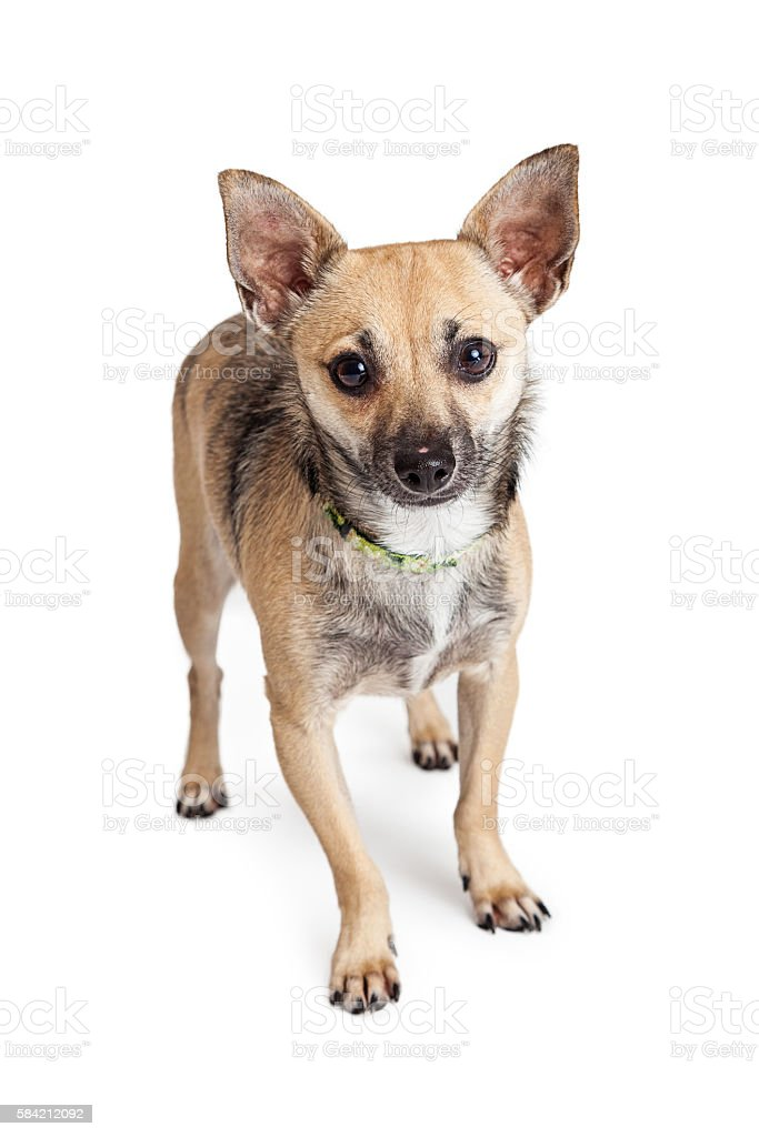 Small Mixed Breed Dog Over White stock photo