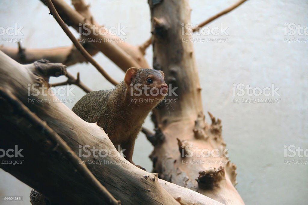 Small Mongoose royalty-free stock photo