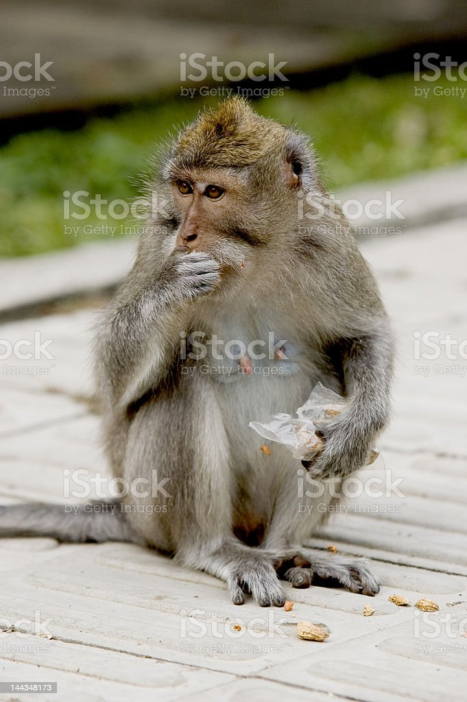 small monkey sitting and eating some nuts stock photo