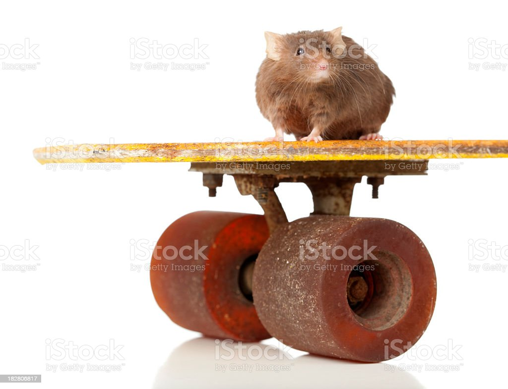 Small mouse sitting on big skateboard edge. royalty-free stock photo