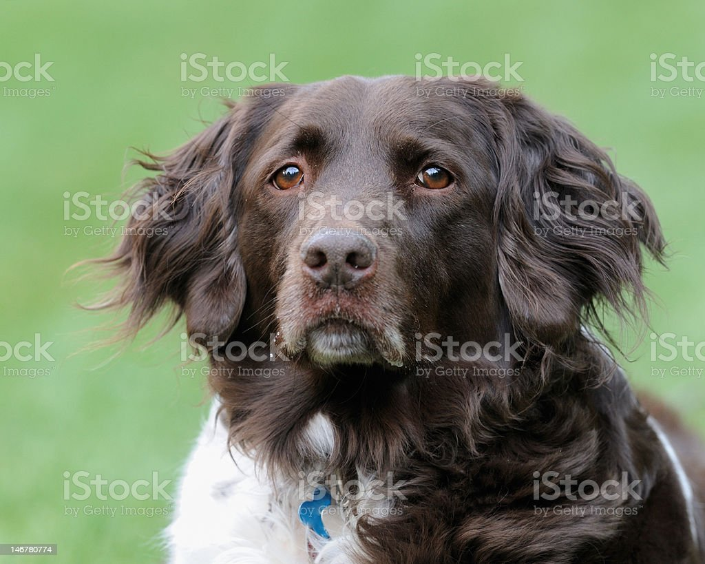 Small Muensterlander Dog stock photo