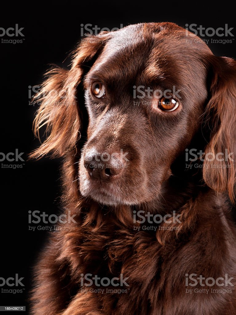 Small Munsterlander Dog stock photo
