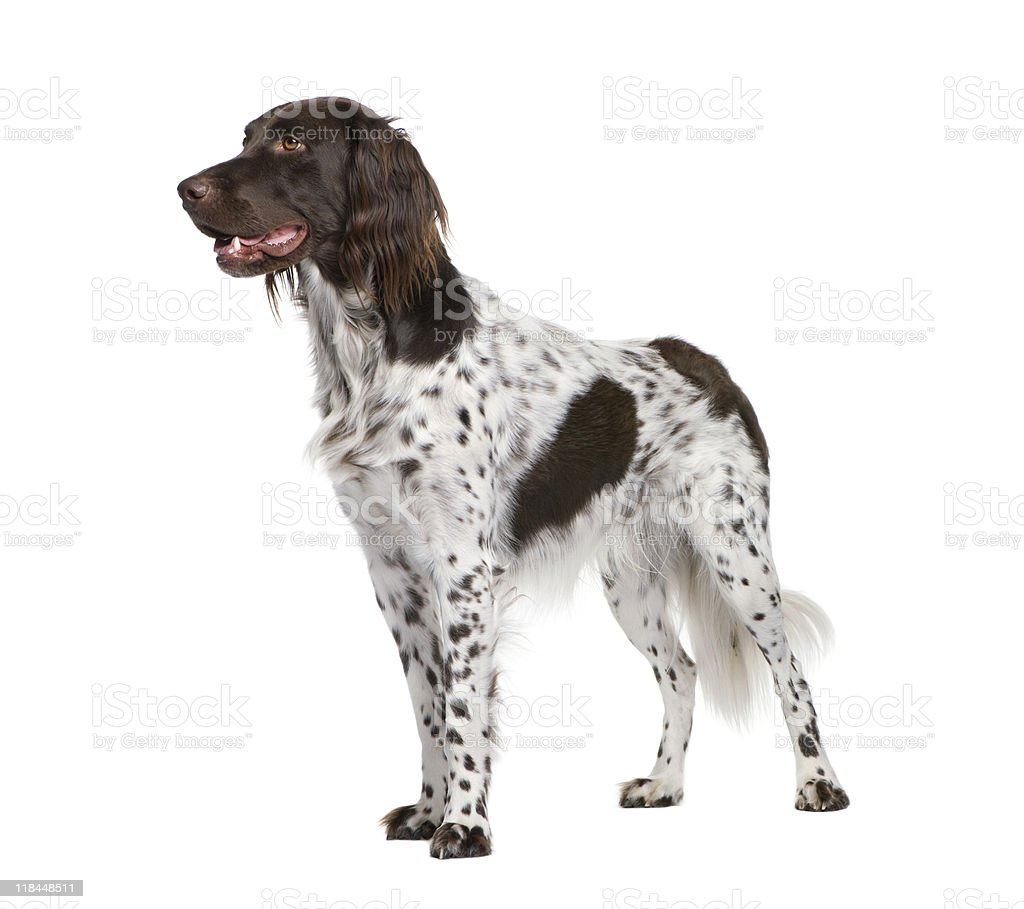 Small Munsterlander dog standing in front of white background stock photo