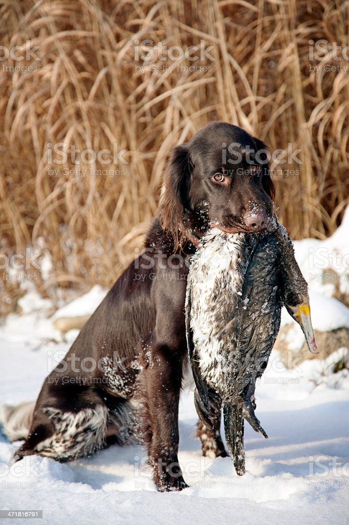 Small Munsterlander  fetch a Cormorant stock photo
