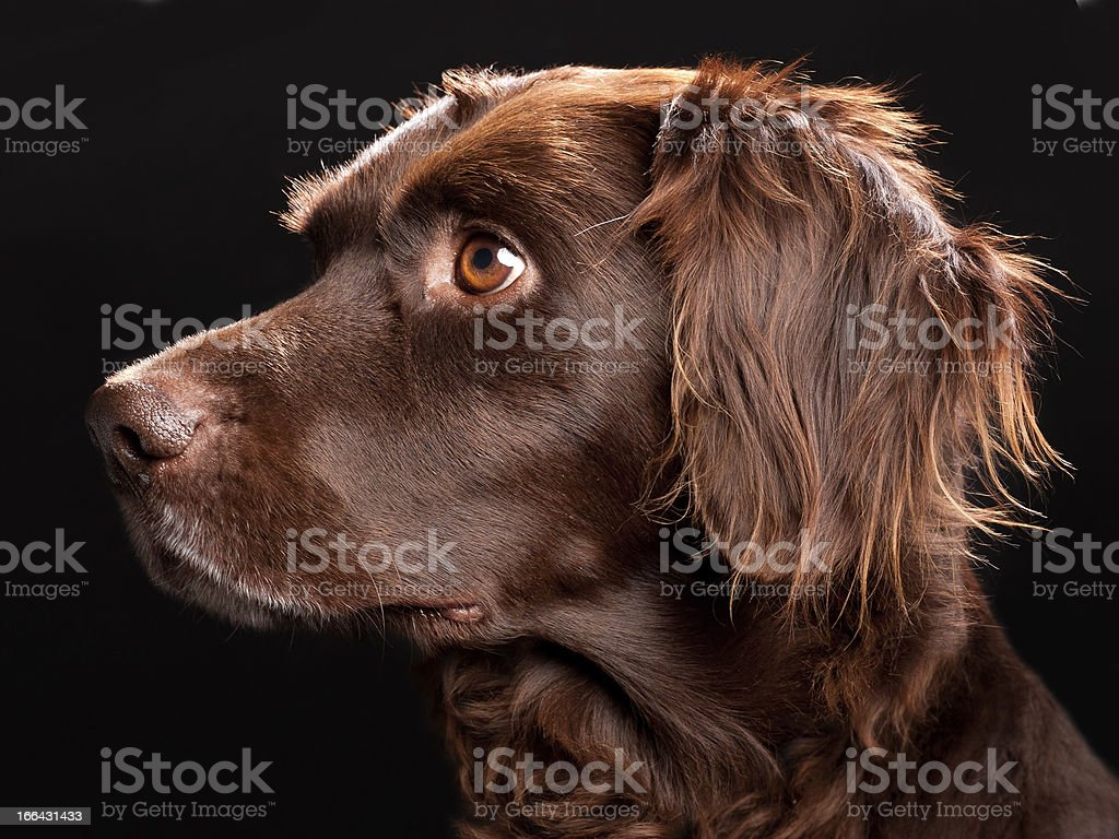 Small Munsterlander Portrait stock photo