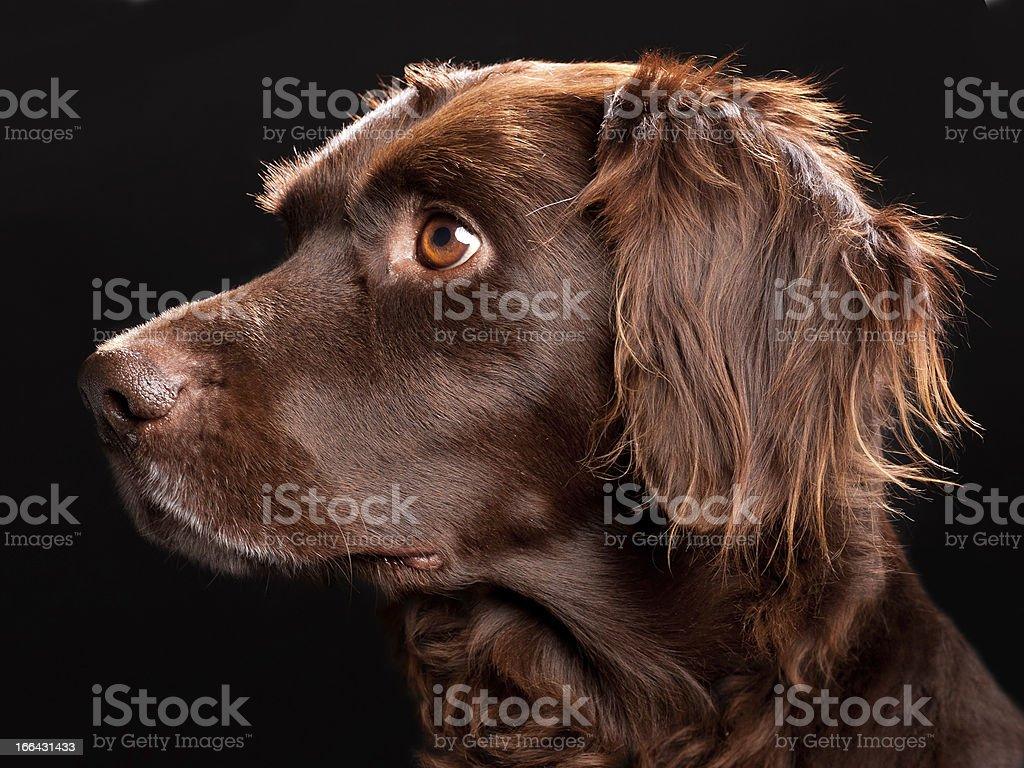 Small Munsterlander Portrait stock photo