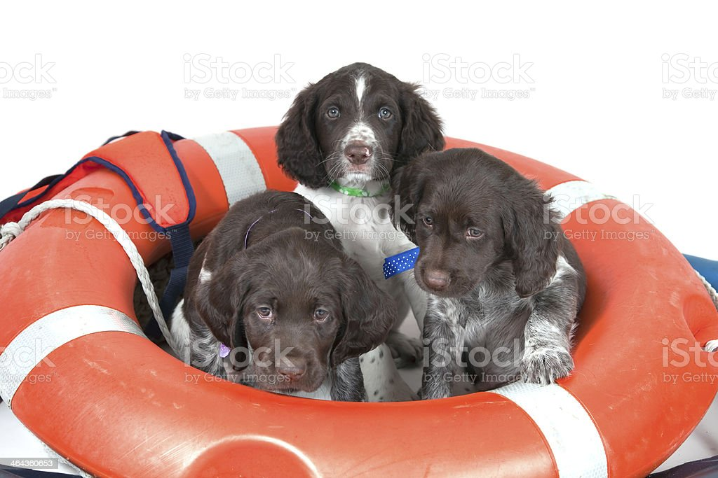 Small Munsterlander puppies stock photo