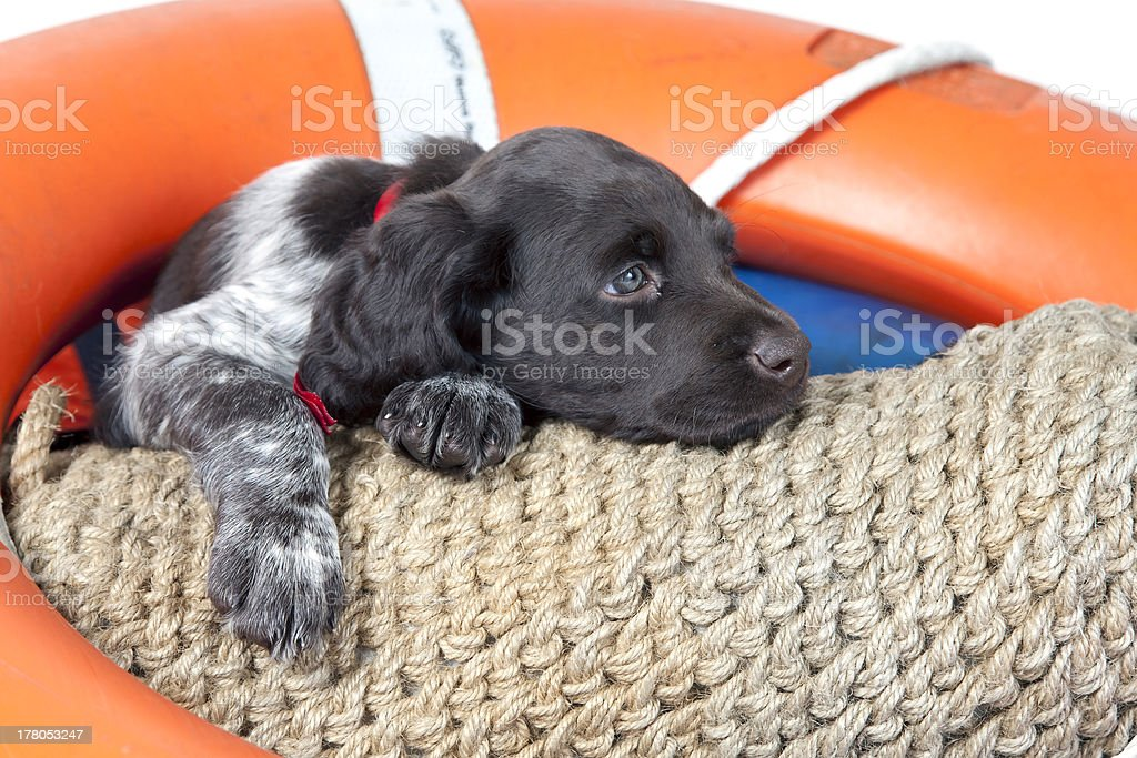 Small Munsterlander puppy stock photo