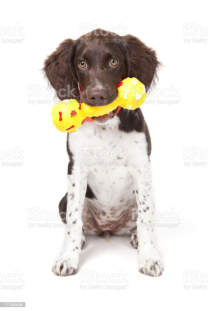 Small Munsterlander puppy with toy stock photo