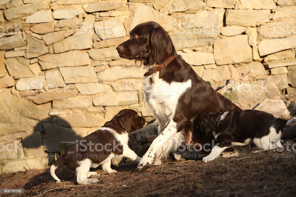 Small Munsterlanderbitch with puppies stock photo