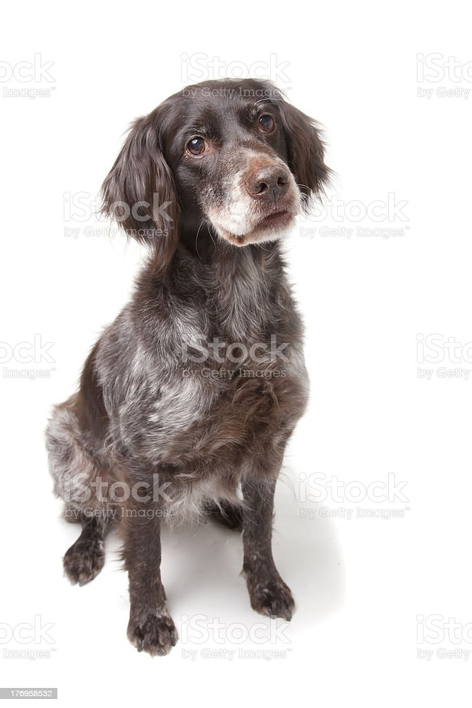 Small Munterlander stock photo
