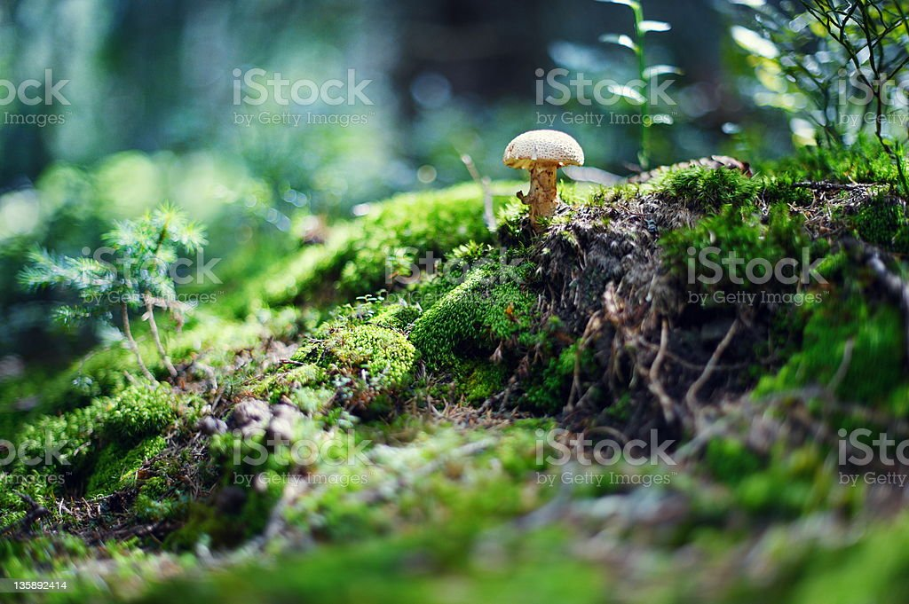 Small mushroom royalty-free stock photo