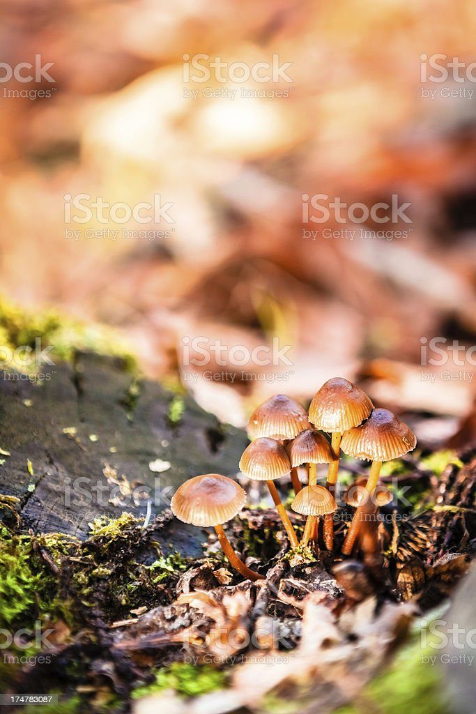 Small Mushrooms in Autumn Forest royalty-free stock photo