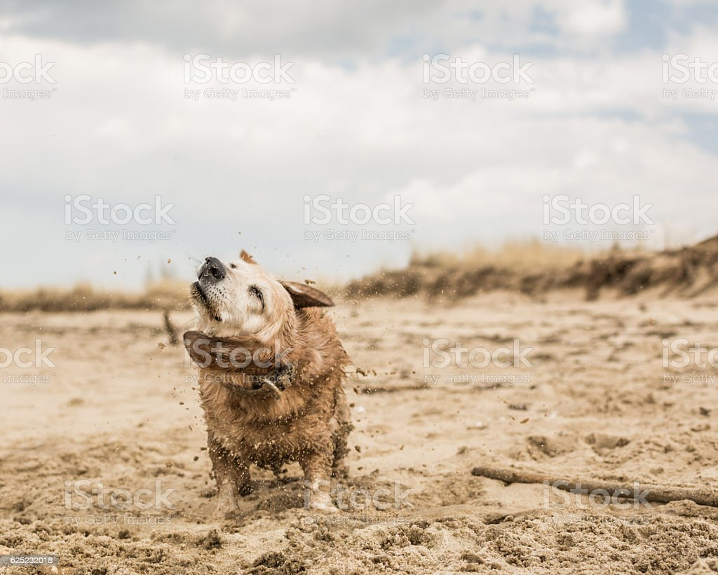 Small old dog shaking it's fur. stock photo