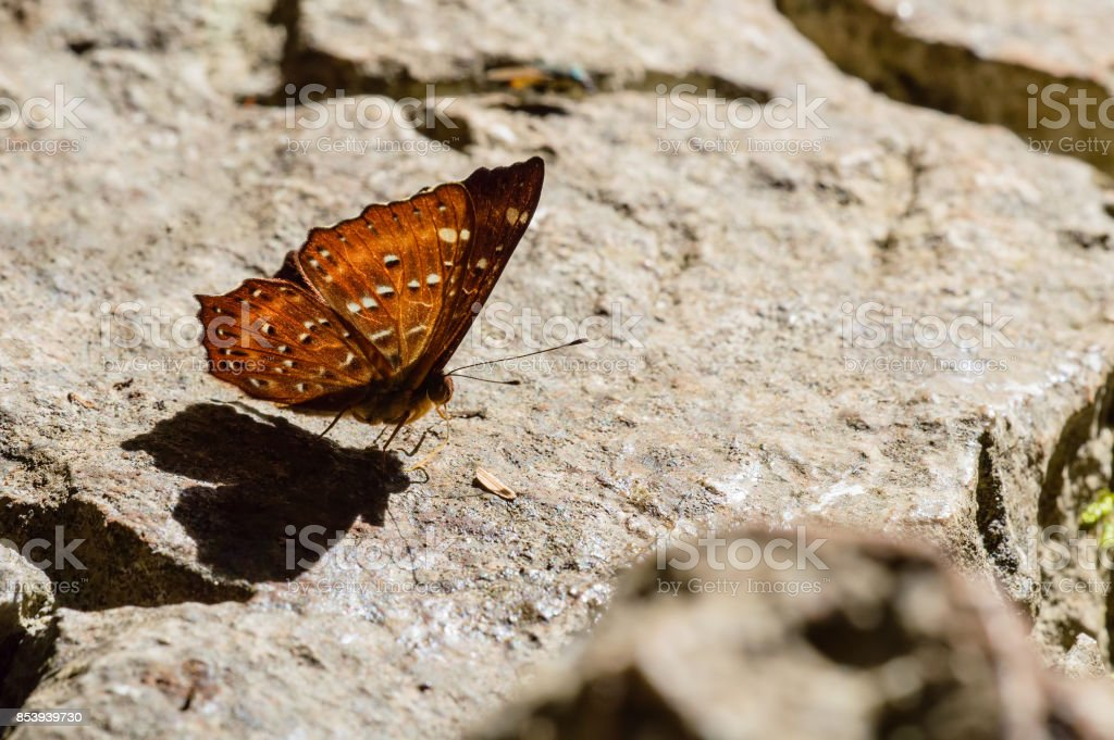 small orange butterfly stay on rock surface stock photo