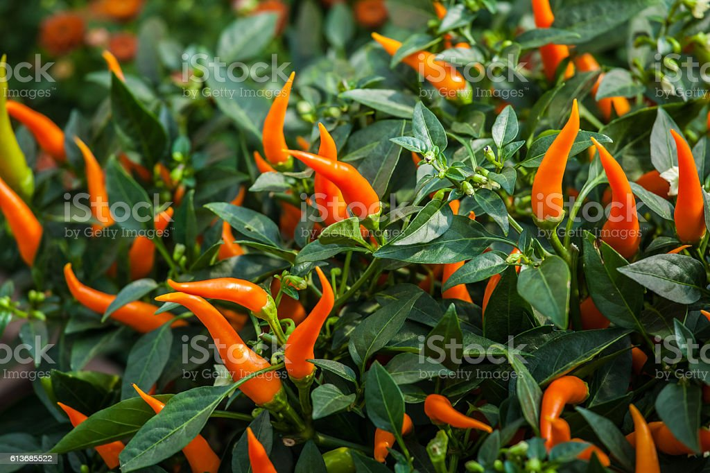 Small orange chili peppers stock photo