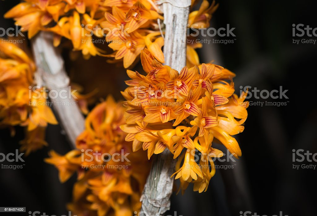 small orange Dendrobium orchid flower stock photo