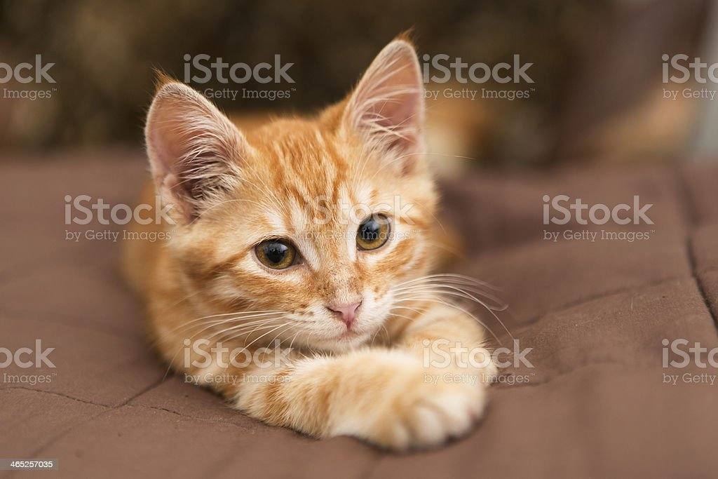 Small orange kitten lie on the bed stock photo