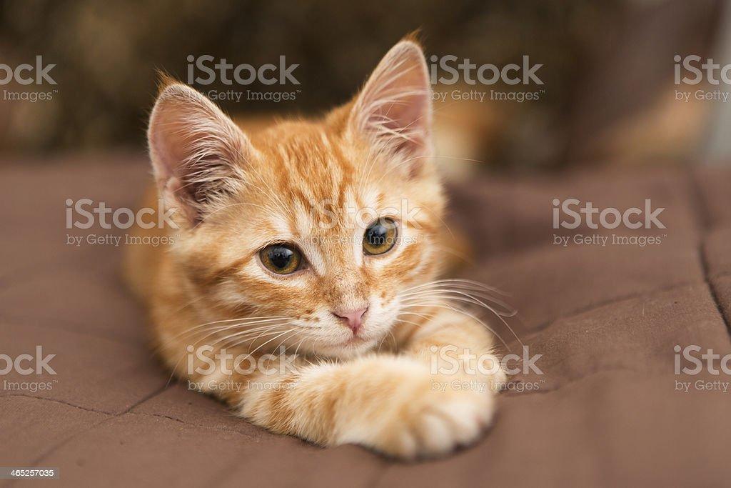 Small orange kitten lie on the bed stock photo