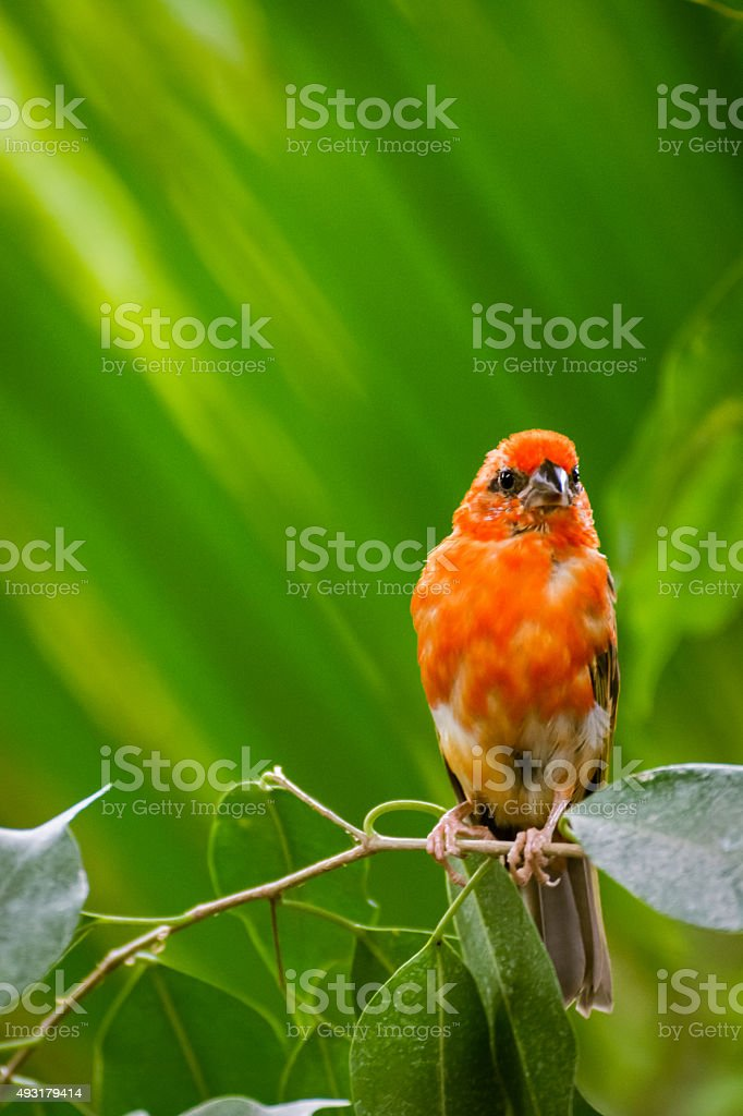 Small Orange Madagascar Fody Bird Perched On A Branch. stock photo