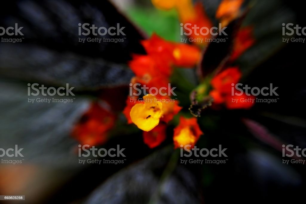 small orange & yellow color begonia flowers stock photo
