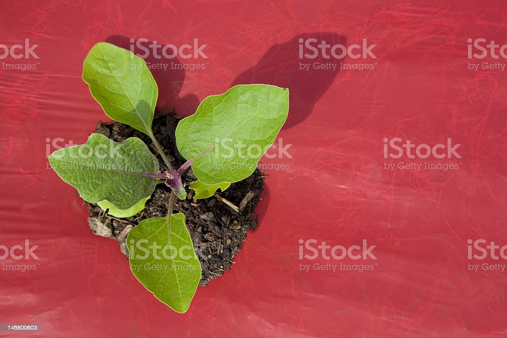 Small Organic Eggplant royalty-free stock photo