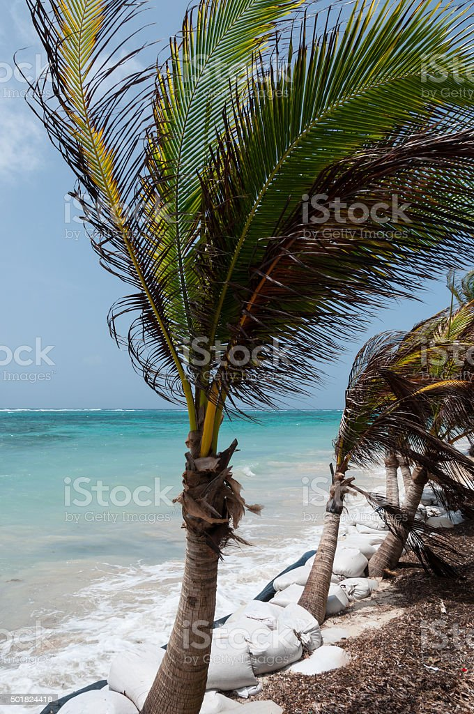 Small Palm Tree in the wind on caribbean white sand stock photo