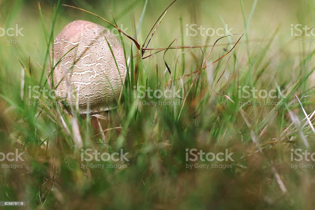 Small parasol mushroom in the grass stock photo