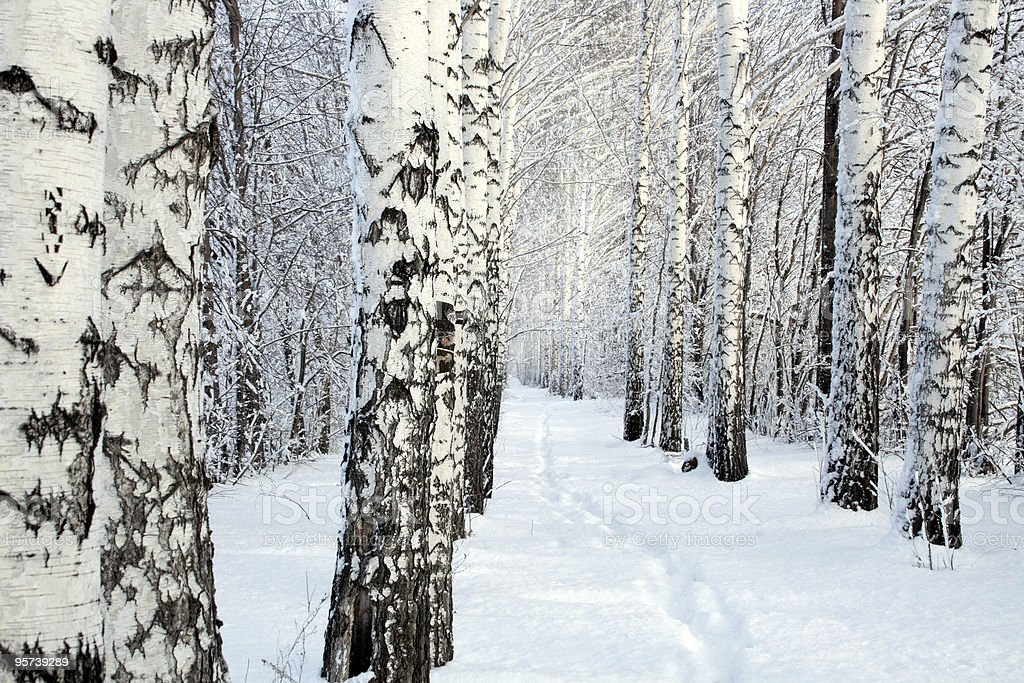 small path in winter birch wood royalty-free stock photo