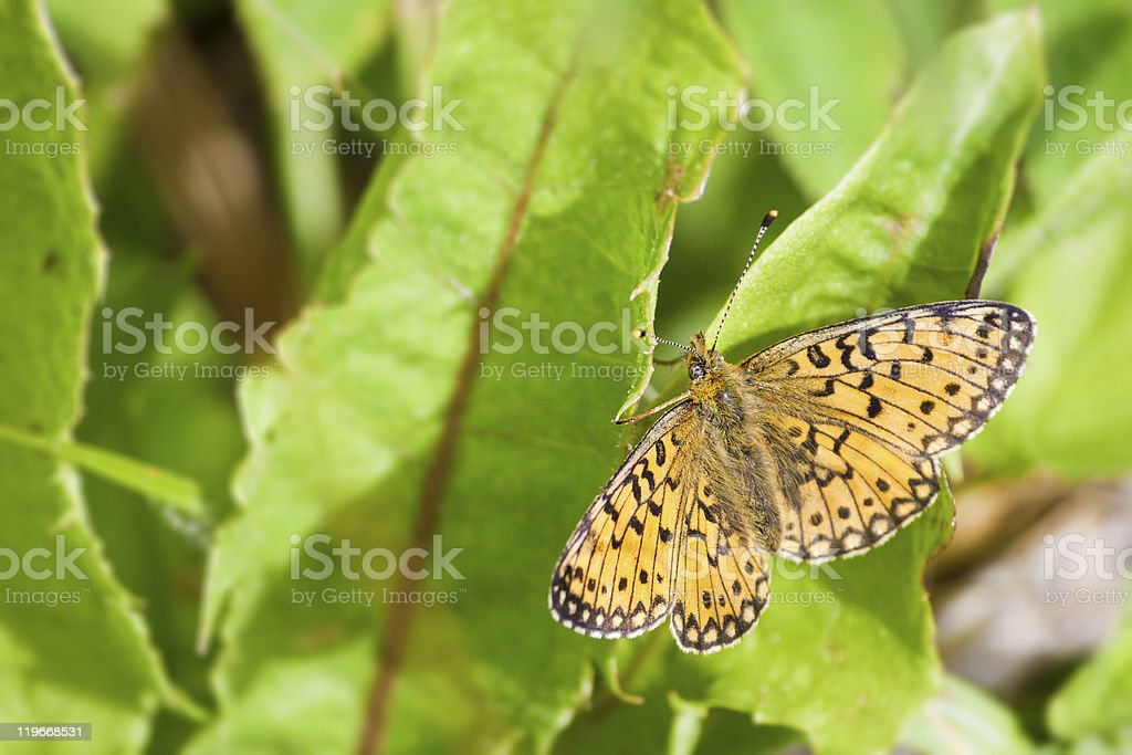 Small Pearl Bordered Fritillary On Leaf royalty-free stock photo
