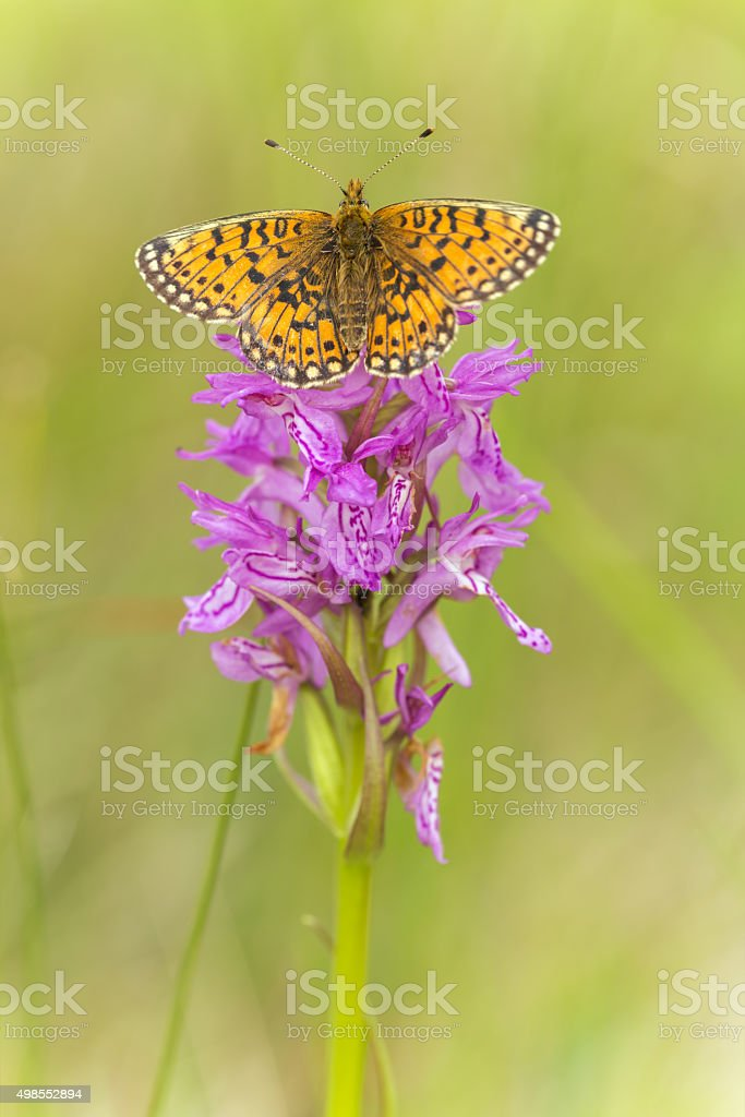 Small pearl-bordered fritillary, Boloria selene resting on orchid stock photo