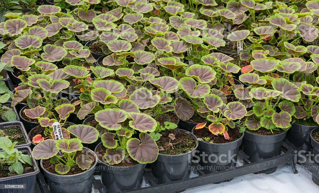 Small pelagonium, geranium plants ready for planting stock photo