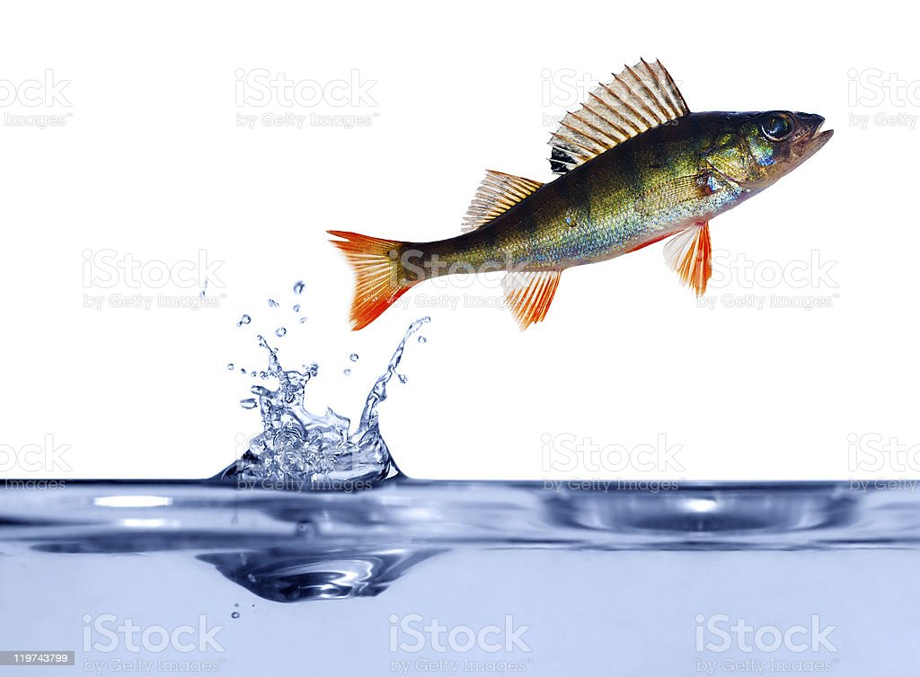 small perch above blue water royalty-free stock photo