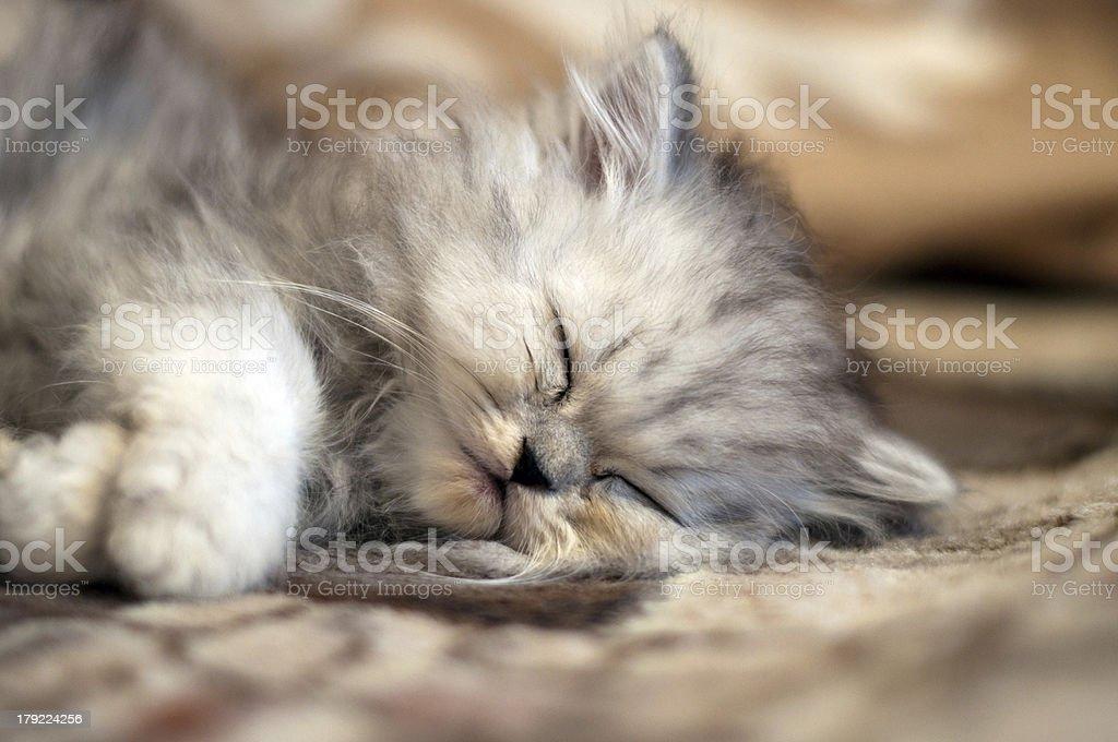 Small Persian kitty sleeping royalty-free stock photo
