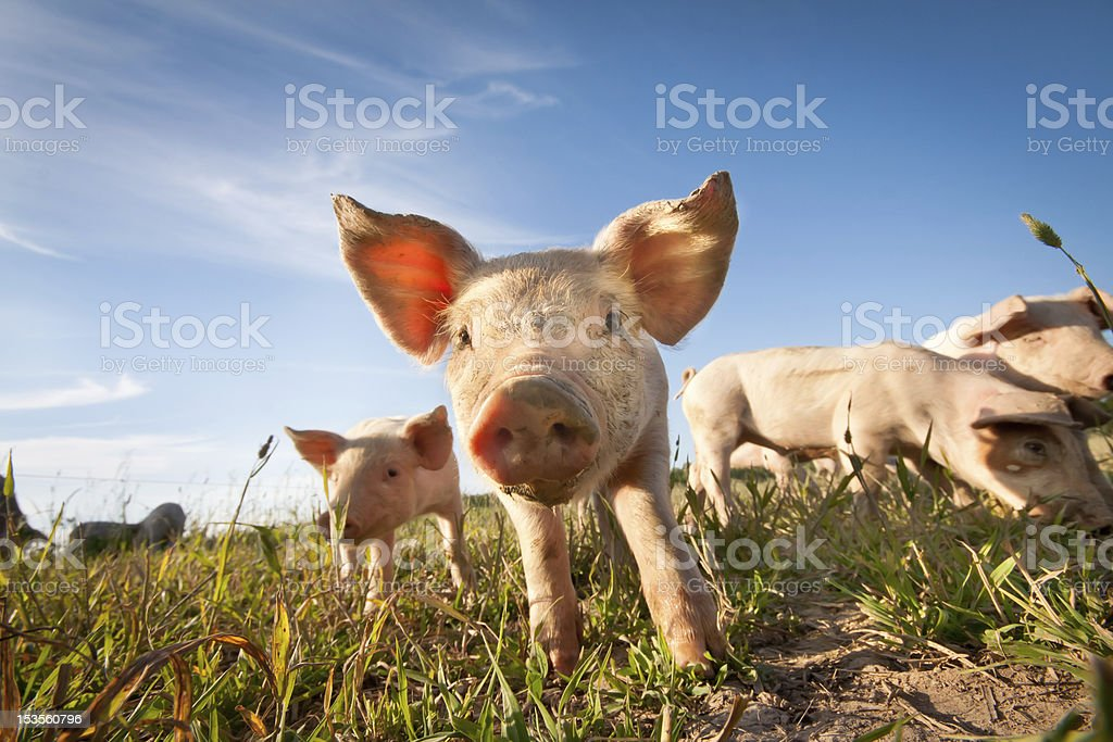 Small pig stock photo