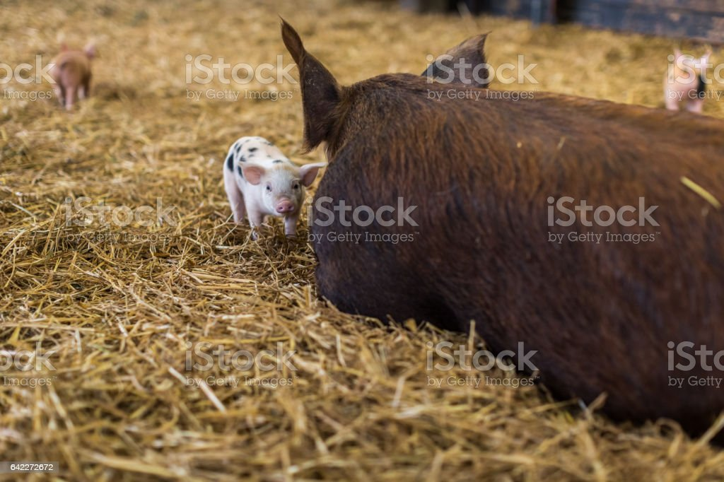 Small piglet standing besides big mother pig in straw bedding stock photo