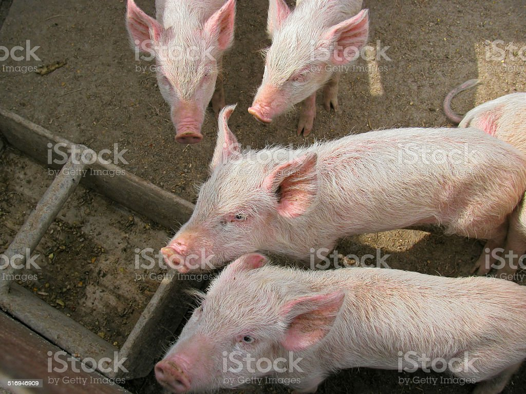 Small piglets stock photo