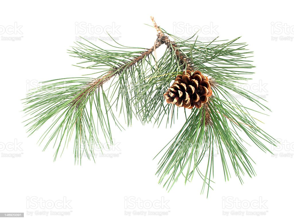 Small pine branch with cone on it over a white background royalty-free stock photo