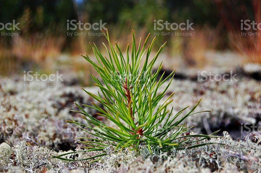 small pine stock photo