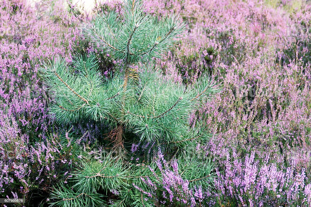 Small pine tree amongst blooming erica flowers stock photo
