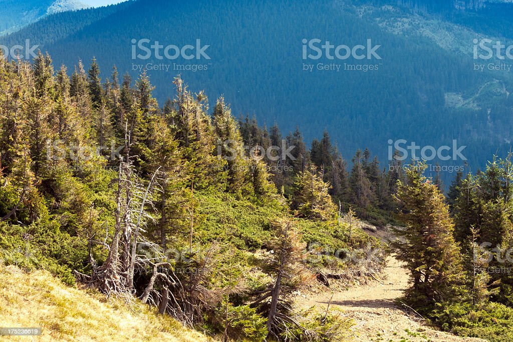 Small pine trees on mountain slope royalty-free stock photo
