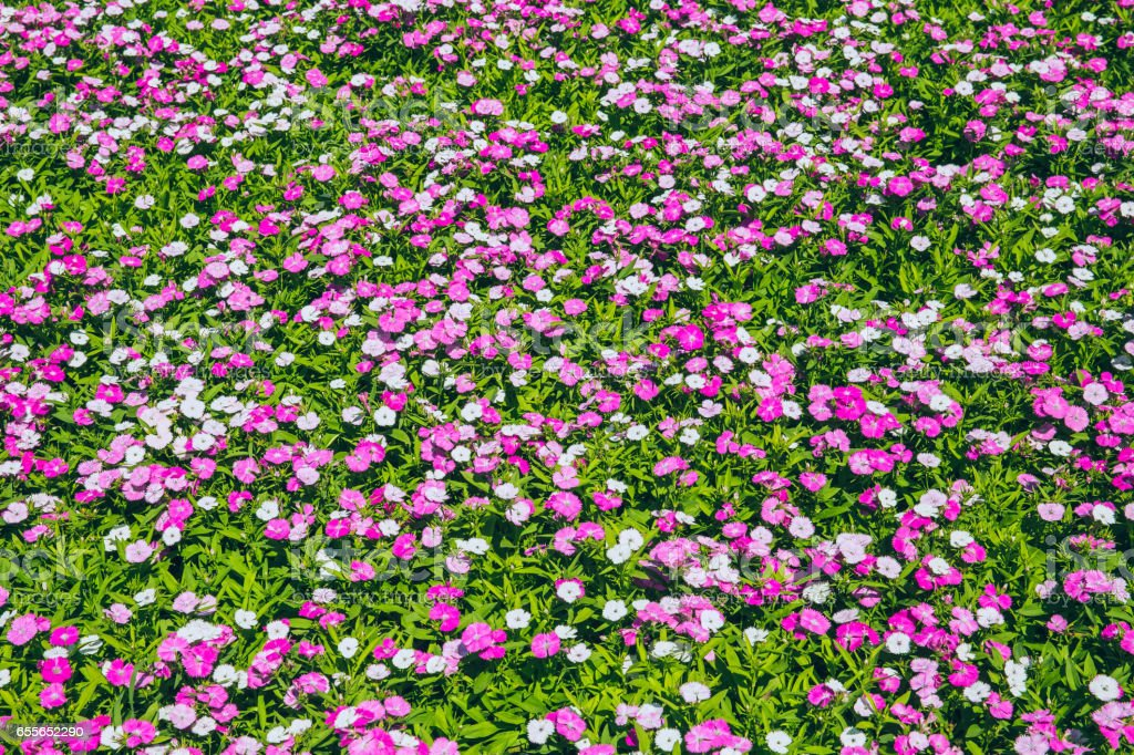 small pink flower field on green plant garden background. stock photo