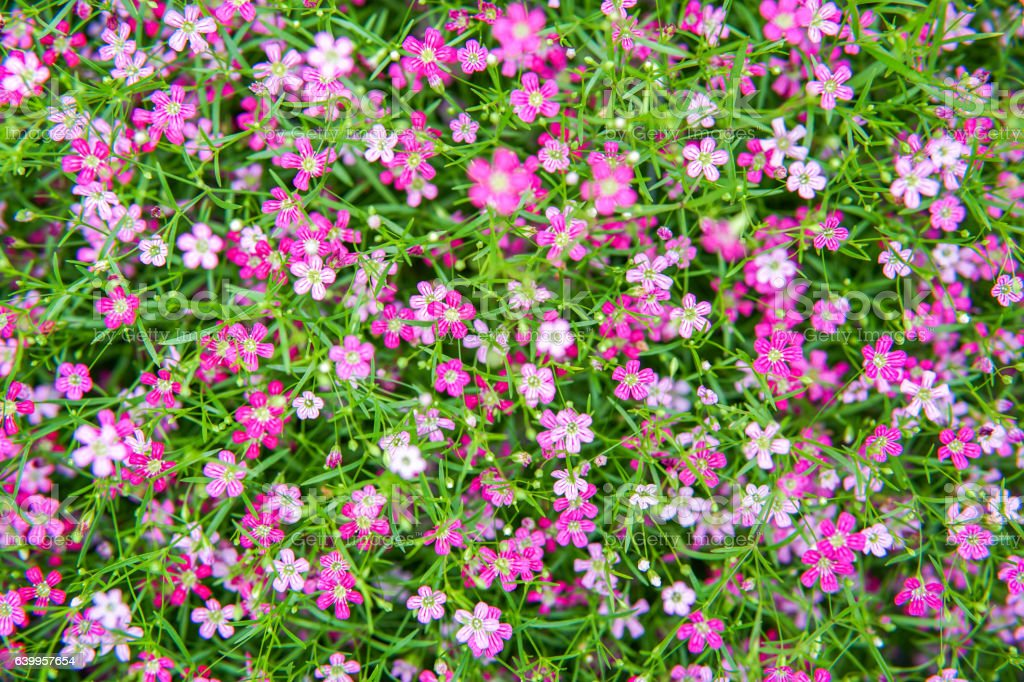 small pink gypso flower stock photo