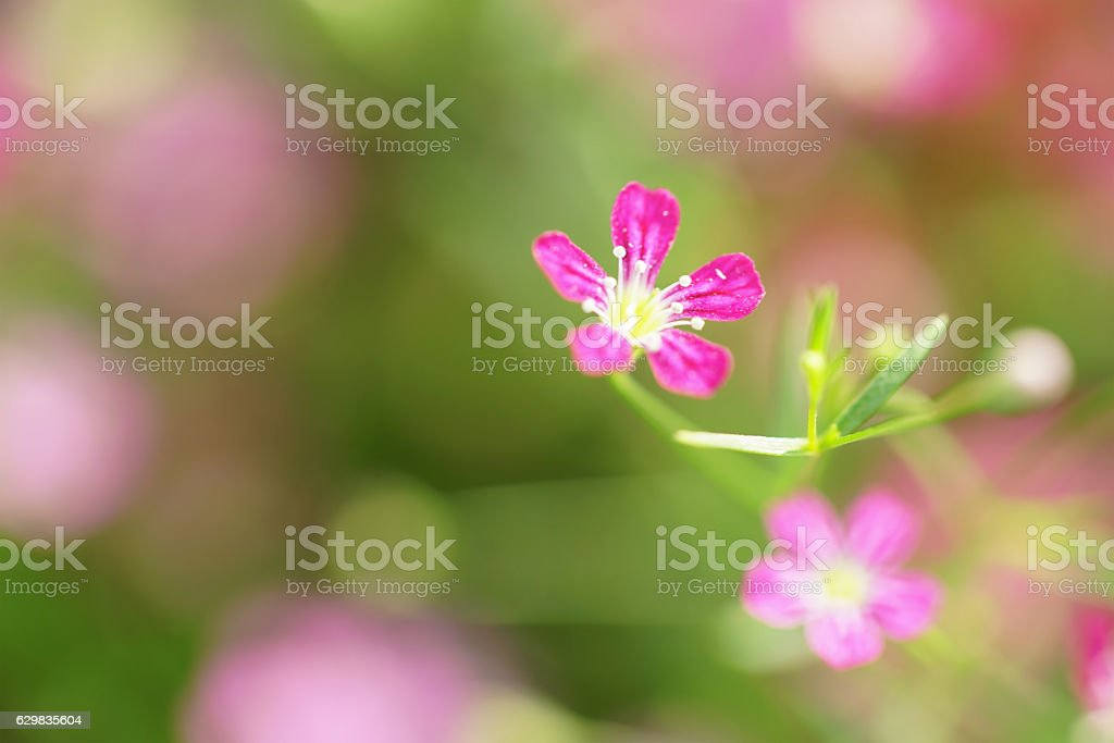 small pink gypso flower with a soft-focus stock photo