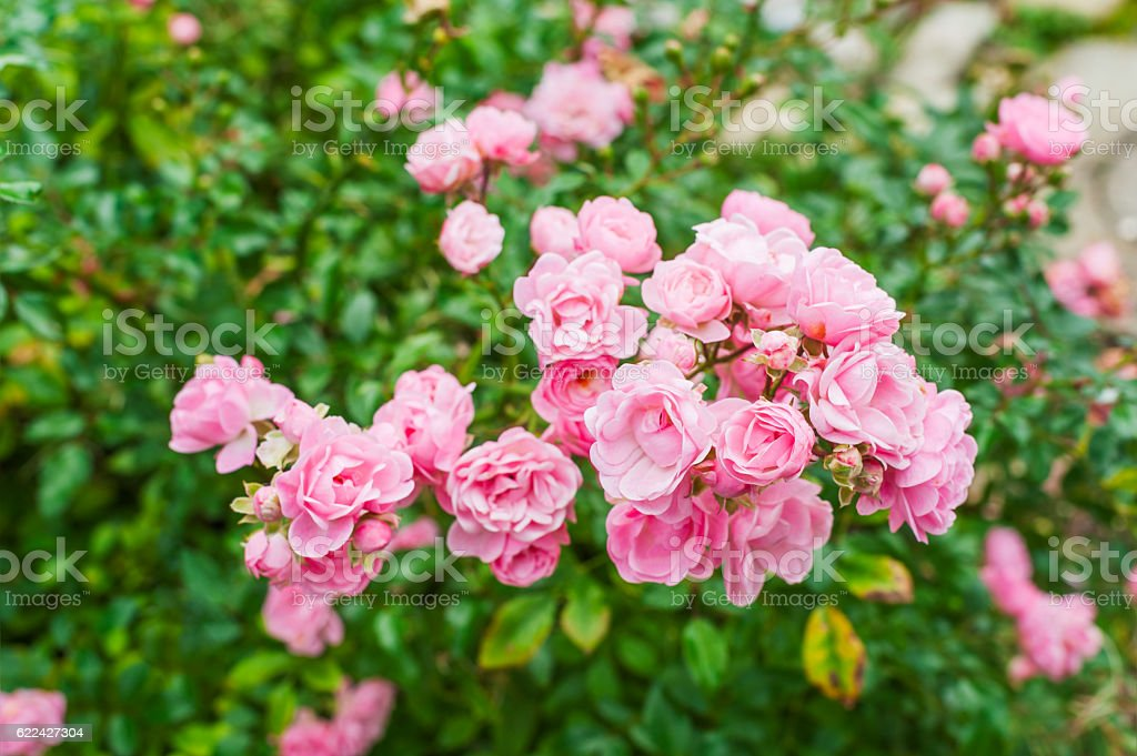 Small pink roses stock photo