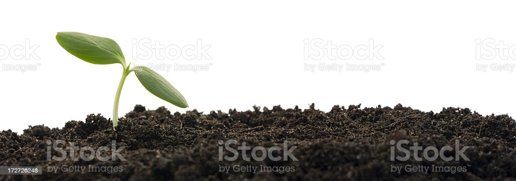 Small plant growing from soil (XL) royalty-free stock photo