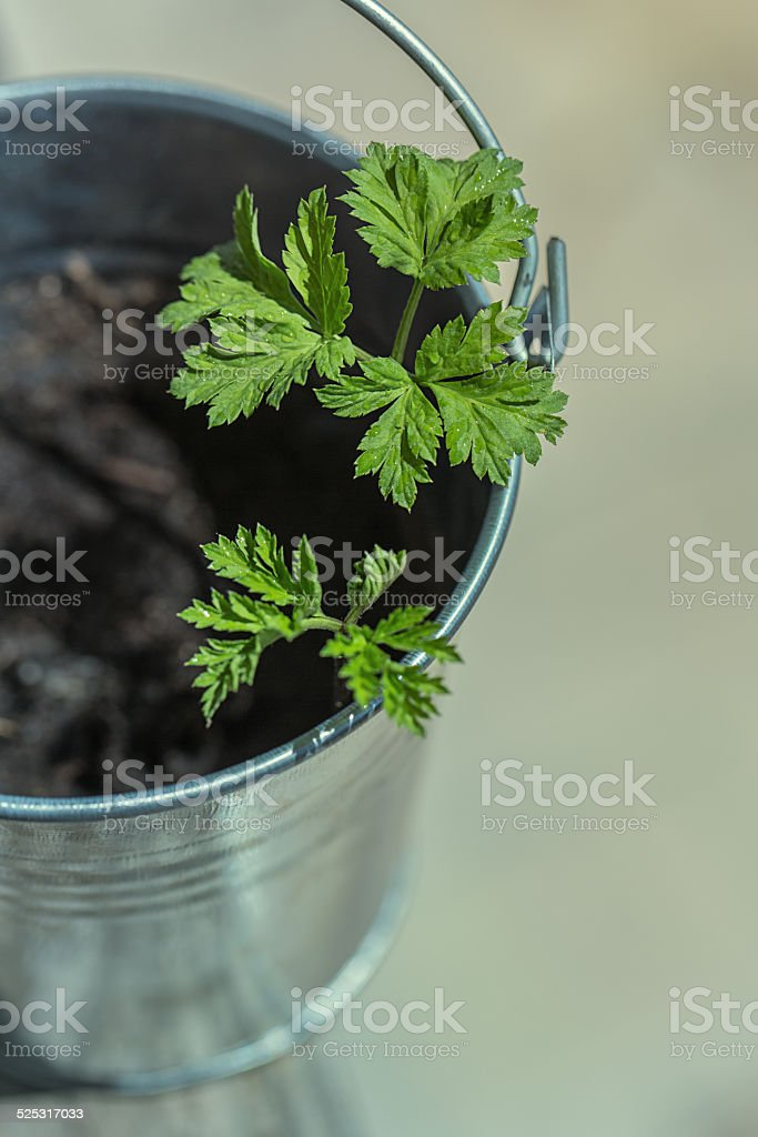 Small plant in a bucket stock photo
