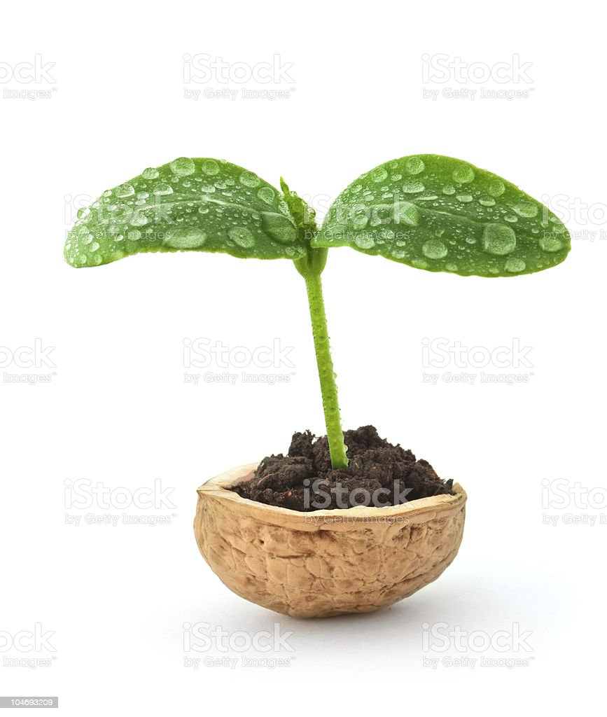 Small plant in a nutshell stock photo
