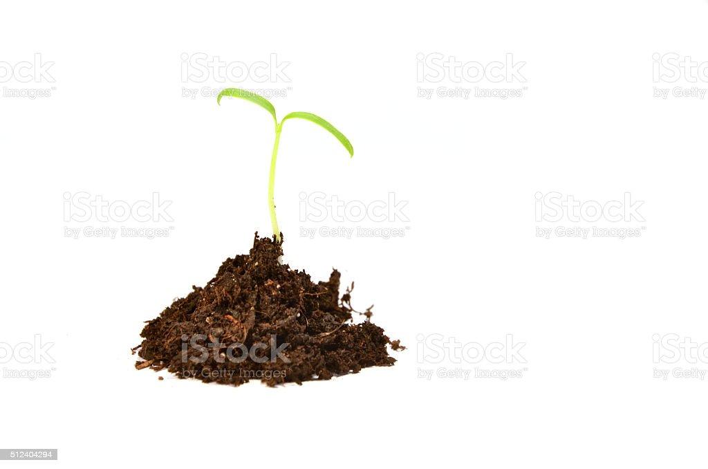 Small plant (tomato) isolated on white stock photo