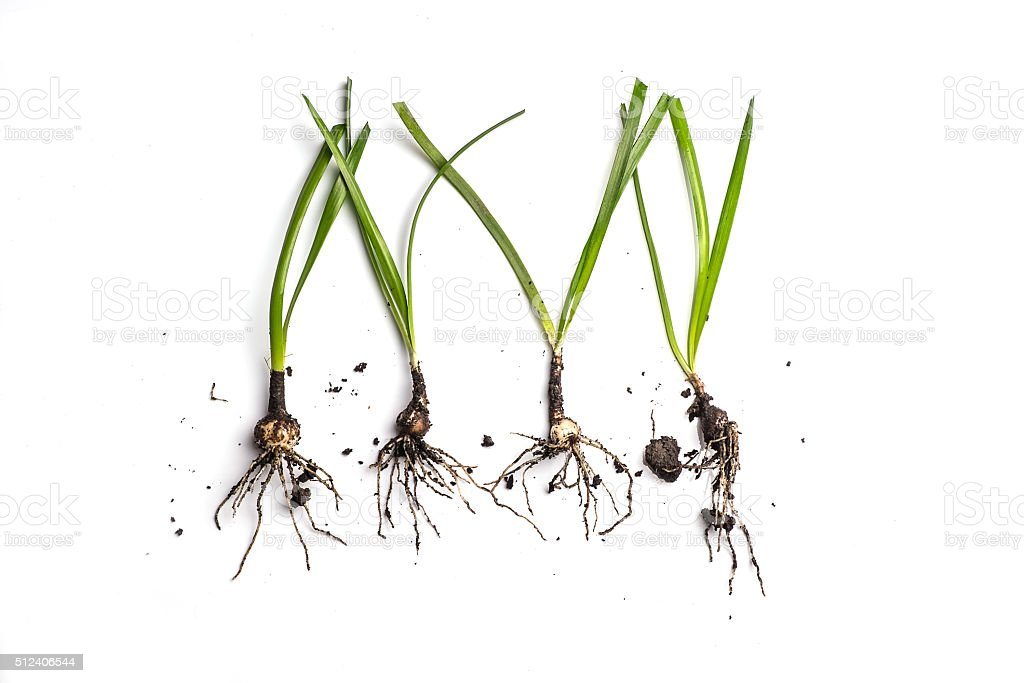 Small Plant with root on white stock photo